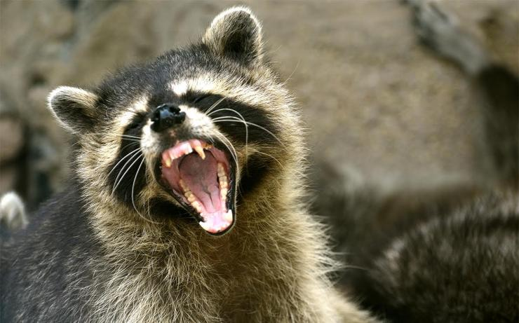 Rachel Borch killed a rabid raccoon by drowning it in a puddle. © dangdumrong-Shutterstock