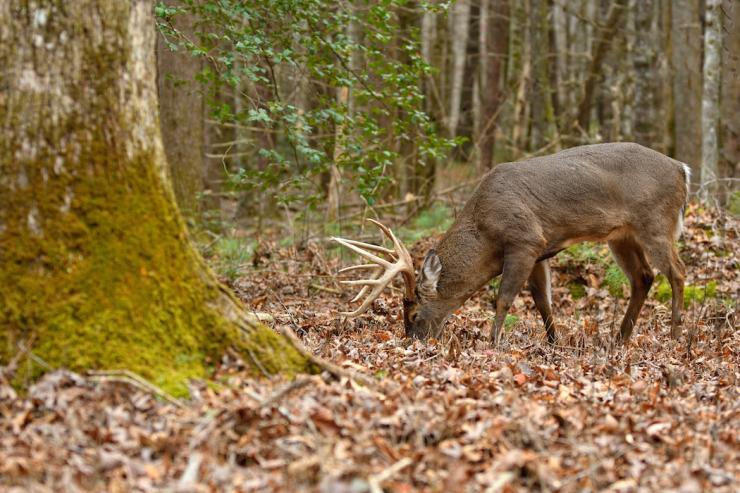 A nice buck feeds on acorns. (Tes Jolly photo)