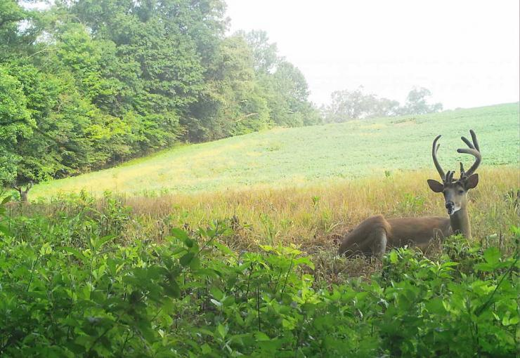 See how the two bucks are bedded down and looking in opposite directions? That's by design. (Josh Honeycutt photo)