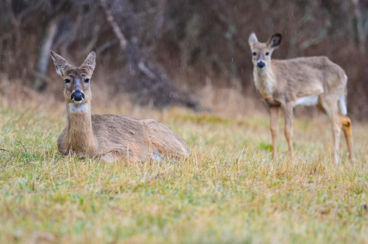Have you ever seen a deer with bovine tuberculosis? (Shutterstock / Orhan photo)