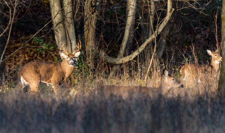 It's not an odd thing to see bucks push does into odd areas during the rut. (Shutterstock / Bryan Patton photo)