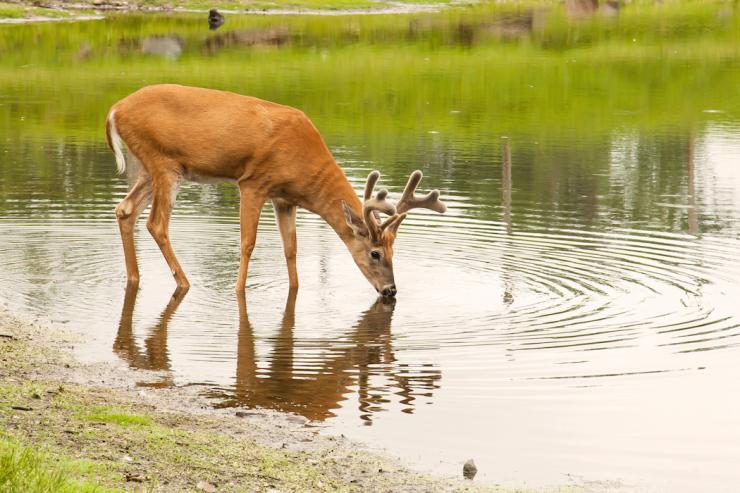 Water is often overlooked as one of the three basic needs of deer (Shutterstock / Kevin McKeever photo)