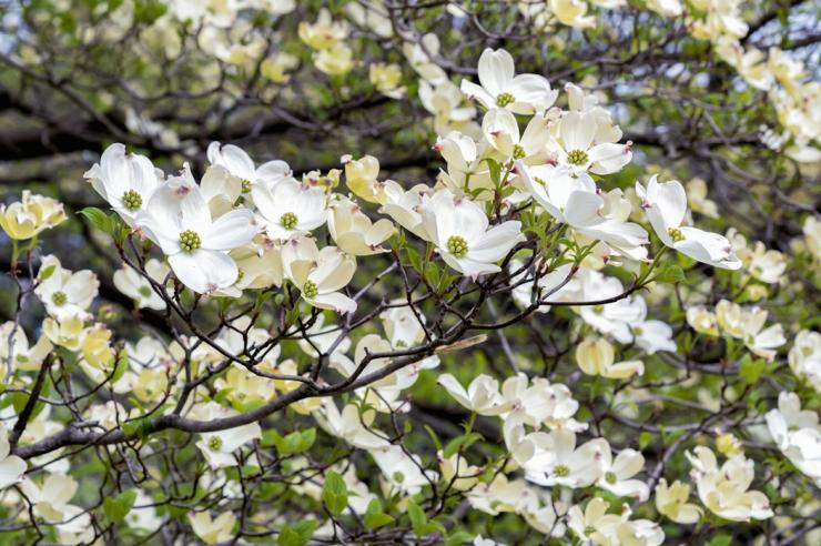 Planting Dogwood Trees For Wildlife Food Plots And Land Management