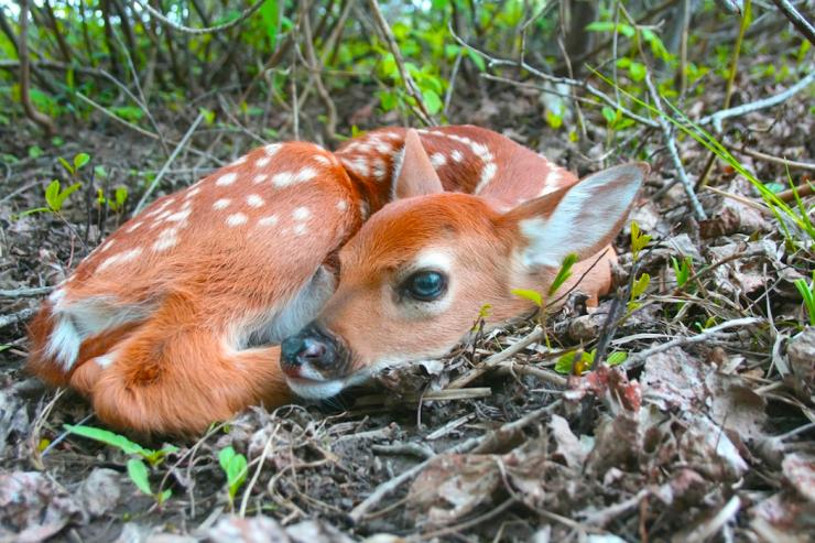 Fawns are much more likely to survive in areas with an abundance of early successional habitat. (Shutterstock/DCW Creations photo)