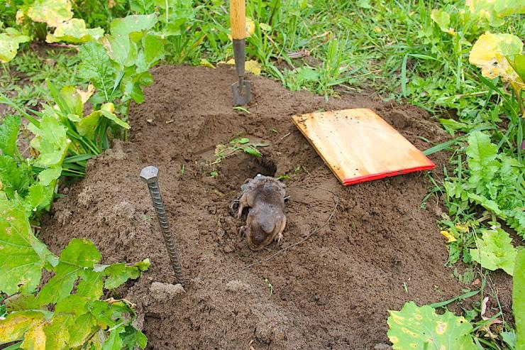 Have you ever had to deal with gophers in your food plots? (Bernie Barringer photo)