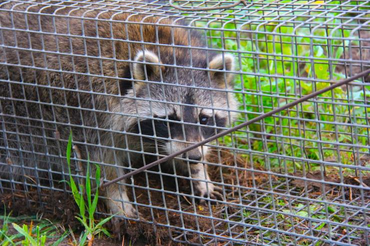 Other small mammals such as raccoons, opposums and skunks also take their toll. (Bernie Barringer photo)