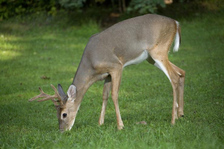 Food plots can provide the extra nutrients a deer needs. (Shutterstock / Guy J. Sagi photo)