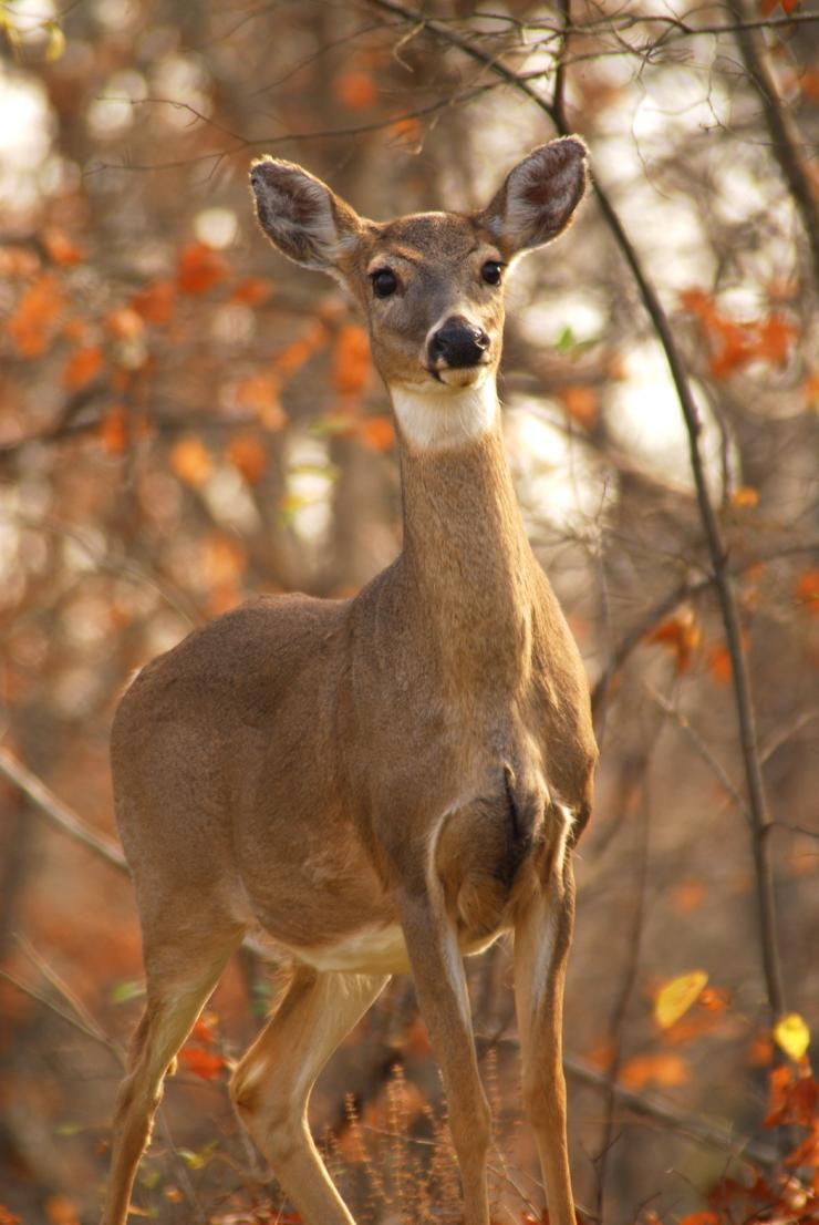 Whitetails need early successional habitat to thrive. (Richard Hines photo)