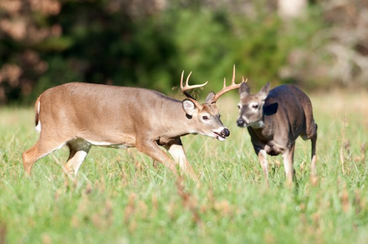 Is the rut rockin' where you deer hunt? (Tony Campbell/Shutterstock photo)