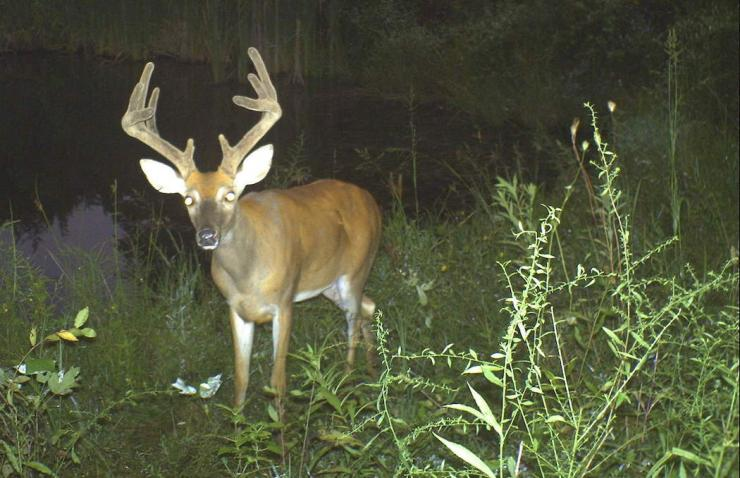 Trail cameras play an essential role in scouting. This is a big trail camera buck.