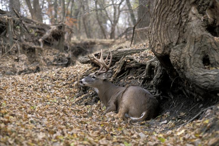 Mature bucks often bed with their backs to a structure such as a rock or log. (Denver Bryan photo)