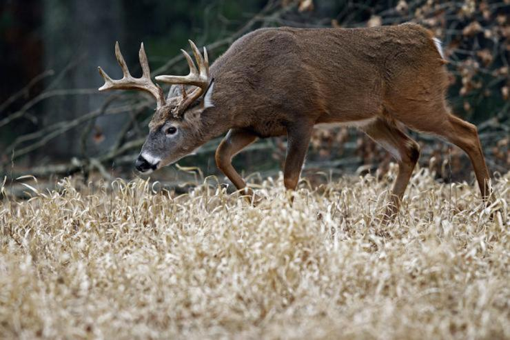 In the South, rut activity is often diluted by mixed gene pools, intense pressure and many other cumbersome factors. Therefore, it results in a much harder destination to hunt wary whitetails. This makes it even more important to fully understand whitetail behavior. (Images on the Wildside / John Erikson photo)