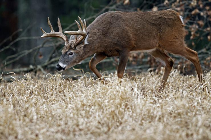 There's nothing quite like the sight of a big buck with its nose to the ground. (John Erikson/Images on the Wildside photo)