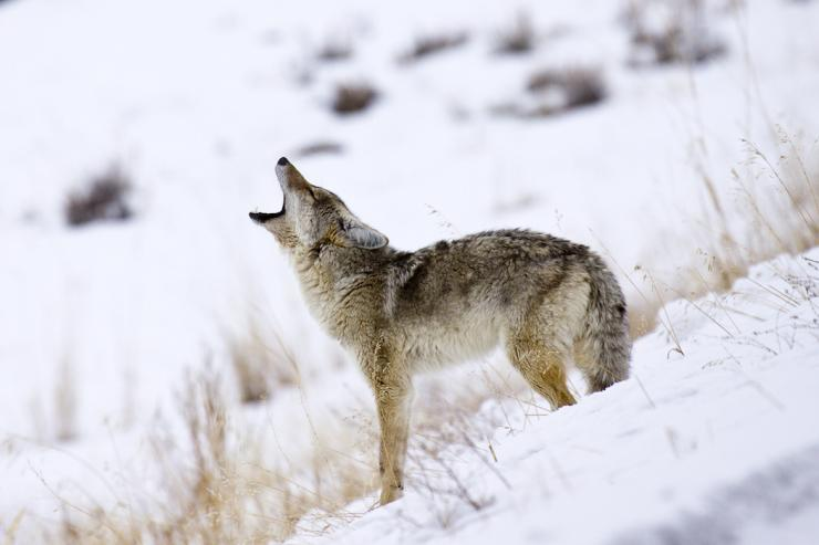 People often believe the western coyote is easy to hunt. That couldn't be further from the truth. (c) Richard Seeley-Shutterstock photo