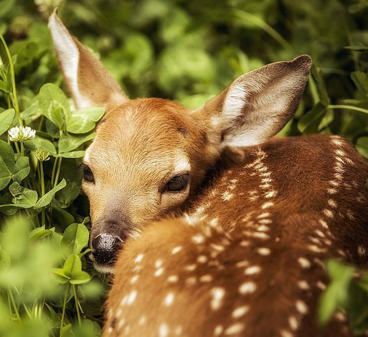 Save the fawns. (Bill Konway photo)