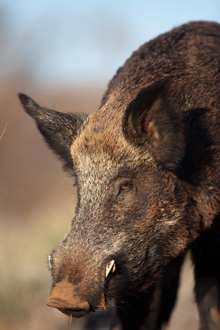 Stalking hogs isn't an easy task. (Russell Graves photo)