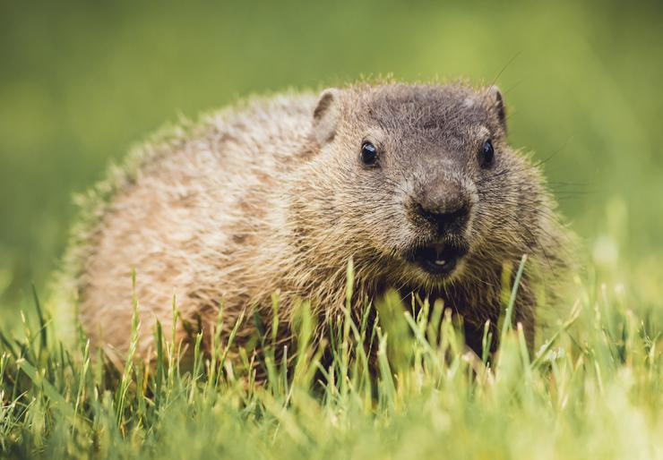 Hunting groundhogs is a great spring- and summer-time hobby. (Rabbitti/Shutterstock photo)