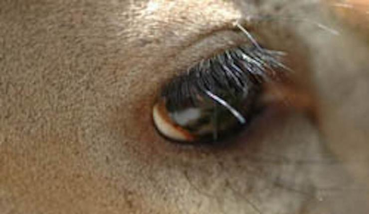 By understanding the makeup and functions of whitetail eyes you can become a more productive hunter.  (Dr. Miller Image)