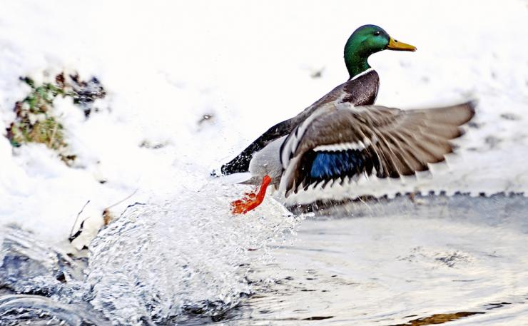 Jump-shooting ducks and geese is a whole new realm of fun.