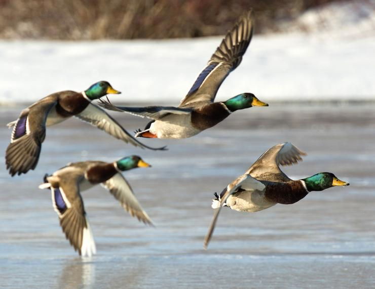 Hunting last-minute ducks during the late season doesn't have to be hard.