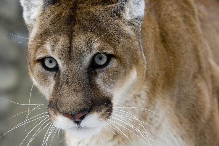 12-Year-Old Female Hunter Shoots Mountain Lion That Was