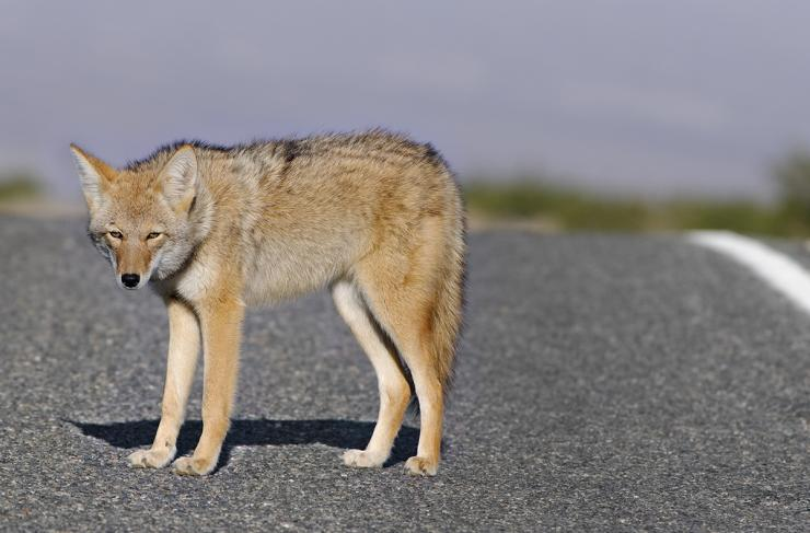 Some have suggested that hallucinogenic mushrooms might be to blame for aggressive coyote behavior in northern California. © Angel DiBilio/Shutterstock