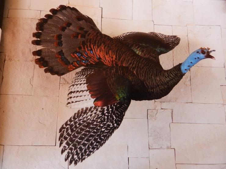 This flying Ocellated turkey mount in Mexico camp inspired me to do the same with my bird. (Steve Hickoff photo)