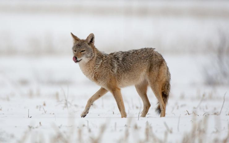 Calling coyotes within range is not an easy task. (Russell Graves photo)
