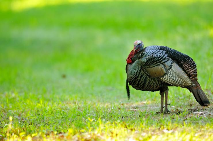 Turkey Hunting in Delaware (c) Tes Randle Jolly photo