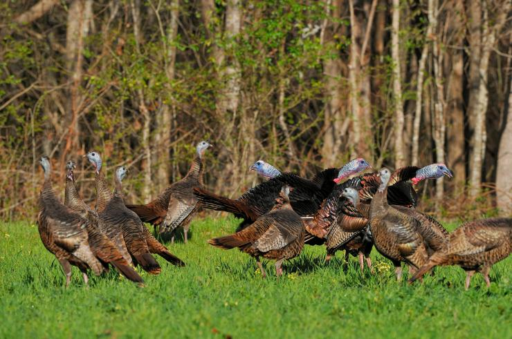 Turkey Hunting in Nebraska (c) Tes Randle Jolly photo
