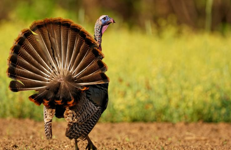 Turkey Hunting in North Carolina (c) Tes Randle Jolly photo