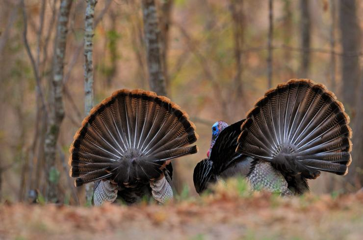 Turkey Hunting in Pennsylvania (c) Tes Randle Jolly photo