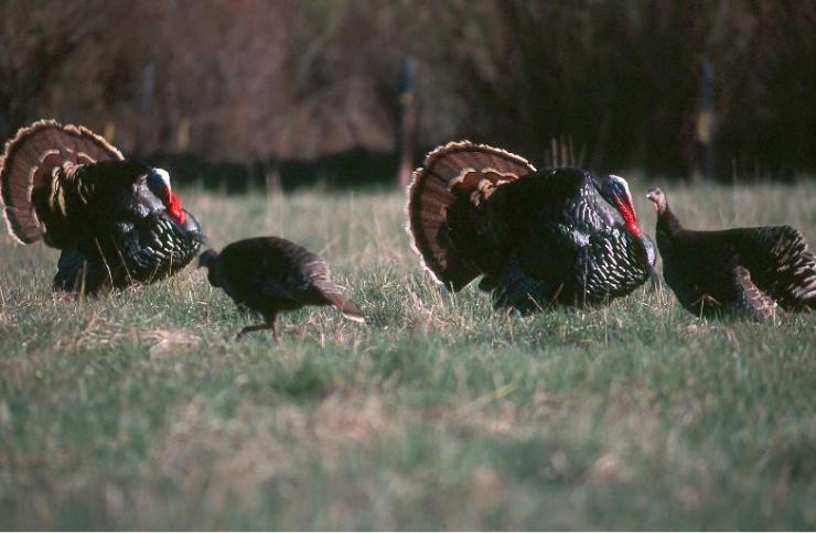 Turkey Hunting in South Dakota © John Hafner photo