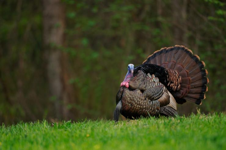 Turkey Hunting in Tennessee (c) Tes Randle Jolly photo