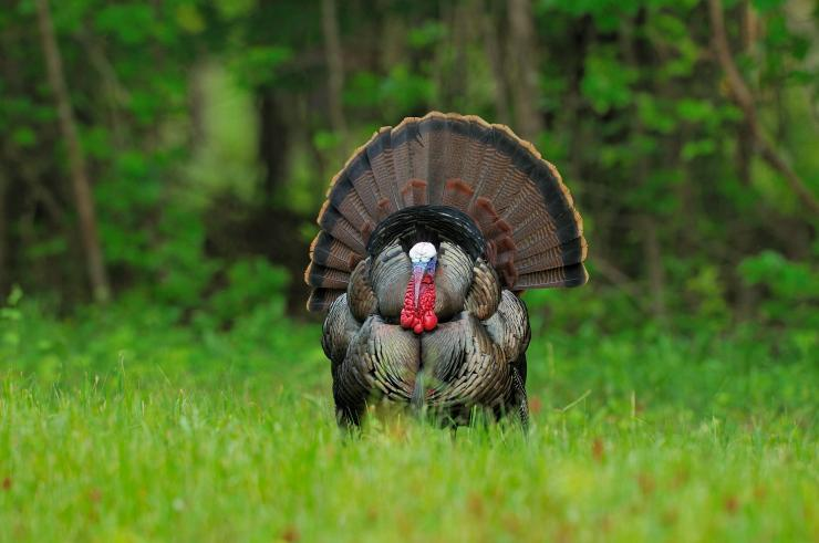 Turkey Hunting in Virginia (c) Tes Randle Jolly photo