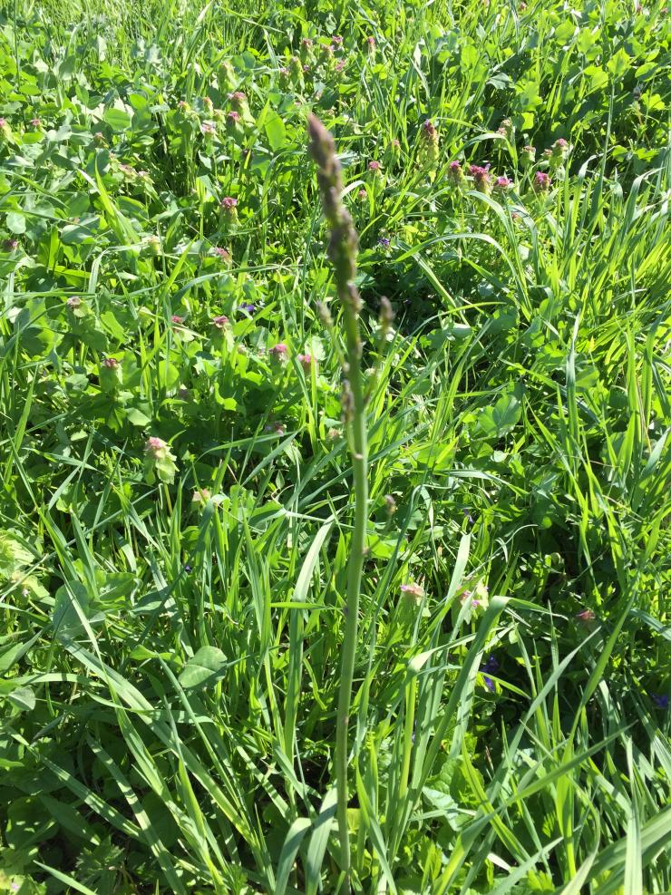 Look closely, asparagus blends into tall grass.