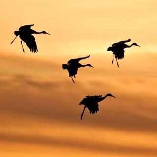 A flock of cranes coming in to land. © Sarah Jessup-Shutterstock