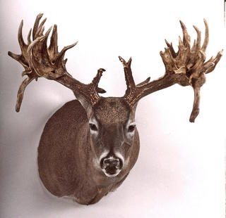 The Fulton buck, a famous 1995 buck that came out of Mississippi, mostly resembles a rack comprised of two baseball bats with beach balls on the ends of them. It holds the non-typical record for Mississippi (Boone and Crockett photo)