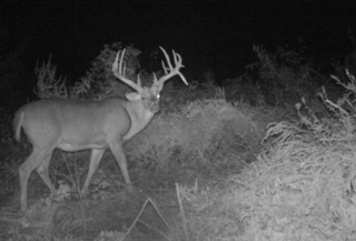 Shamble kept tabs on this deer with wireless cameras. (Patrick Shemwell photo)