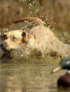 One of the supreme pleasures in duck hunting is watching a good dog work.