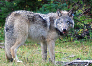 Image result for coywolf photos