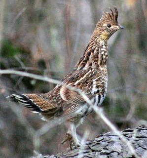 PA Grouse Outlook 2010-11 | Small Game Hunting | Realtree Camo