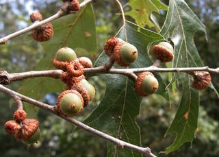 Red Oak acorns. (Tes Jolly photo)