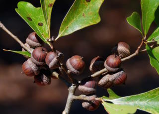 Water Oak acorns. (Tes Jolly photo)