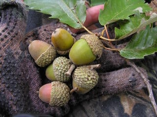 White Oak acorns. (Tes Jolly photo)