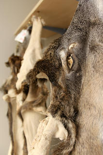 Follow the 10 commandments of taxidermy to ensure your taxidermist has everything he or she needs to work with. (Spencer Neuharth photo)