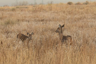 Does and fawns are very vocal and communicate with one another quite frequently.