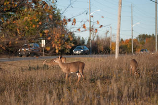 Controlled hunts are the answer for the increase in urban deer populations.