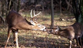 Some hunters and leading wildlife officials believe the earn-a-buck program is partially to blame for decreasing populations.