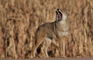 Kill a coyote. Save a fawn. (Russell Graves photo)